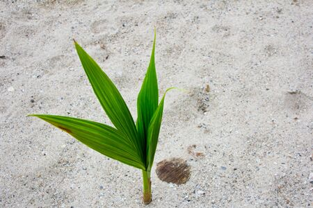 Coconut sprout on the beach photo