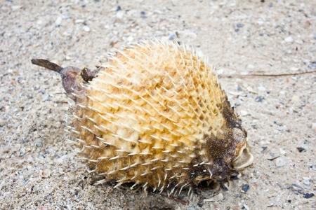 pez globo: El pez globo muere en la playa Foto de archivo