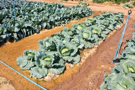 rowth: Cabbage garden.Cabbage garden.