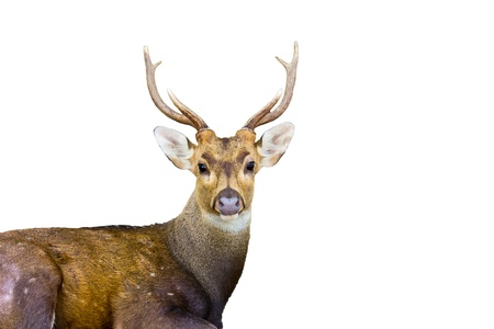 brow antlered deer photo