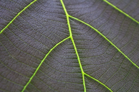 Close up teak leaf photo