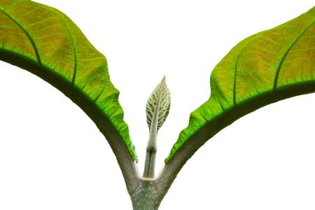 Feche acima da folha de teca
