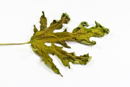 Dried leave on white background photo