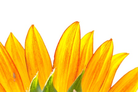Closeup of Sunflower Detail On White Background photo