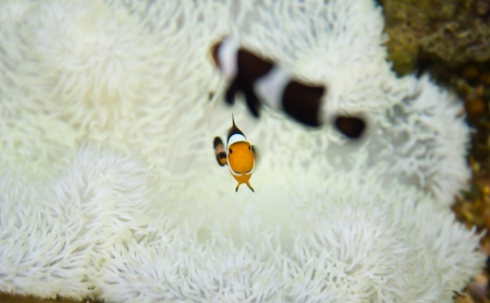 Two Clown Anemonefish photo