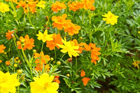 cosmos flowers: Yellow Cosmos flower in garden