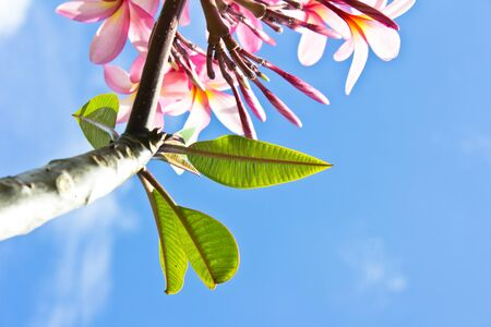 branch of tropical flowers frangipani (plumeria),Leaf photo