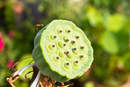 Lotus seed pods in the garden photo