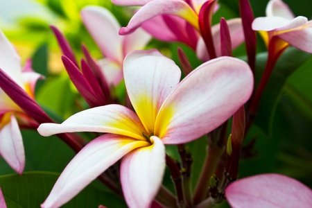 branch of tropical flowers frangipani (plumeria), photo