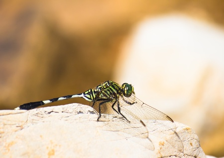 dragonfly wing: A green dragonfly on the stone