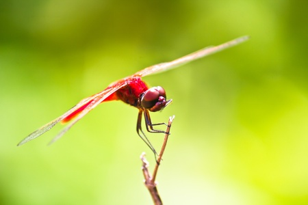 dropwing: A red dragonfly resting on a branch