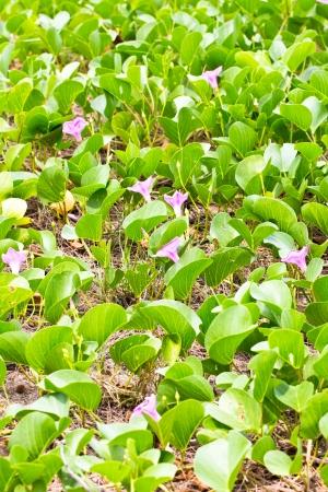 Ipomoea pes-caprae on the beach photo