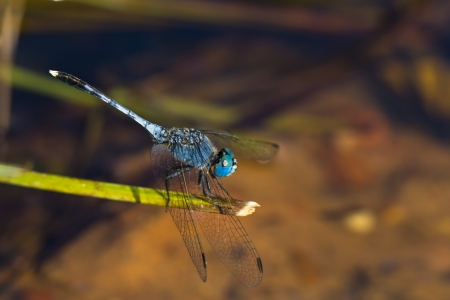 dropwing: A blue dragonfly resting on a branch
