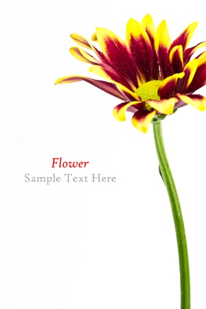 A beautiful flower on white background (with sample text) Stock Photo - 20327162