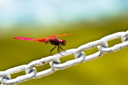 moustached: A red dragonfly resting on a chain Stock Photo