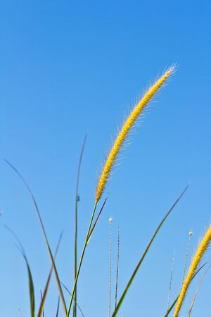 white reeds field on blue sky photo