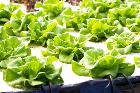 hydroponics green vegetable in farm photo