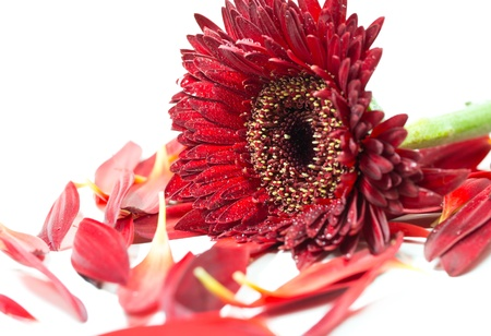 Close up red gerbera flower on a white background photo