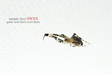 Spiders on white background  with sample text  photo