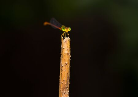 dropwing: A dragonfly resting on a branch