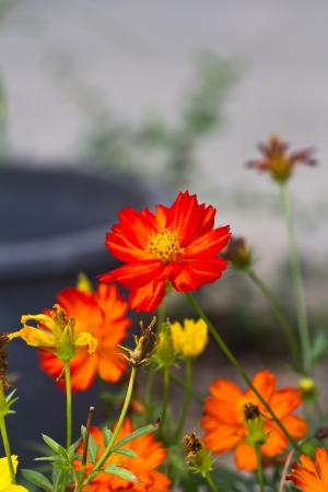 Red Cosmos flower in the garden photo