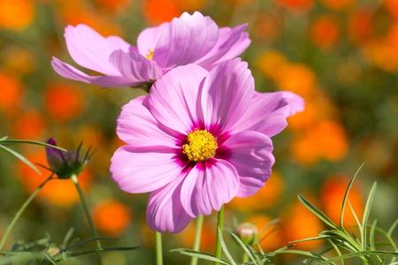 cosmos flowers: Cosmos flower in the garden Stock Photo
