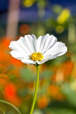 Cosmos flower in the garden Banco de Imagens