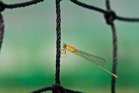 trithemis: A dragonfly resting on a net