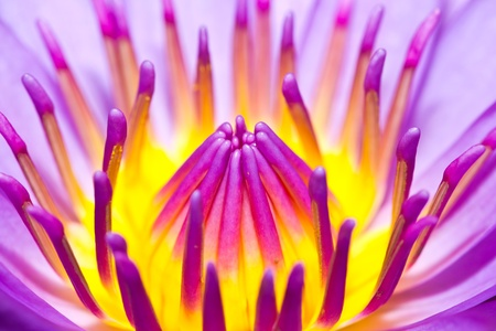 Closeup  lotus  flower in the garden photo