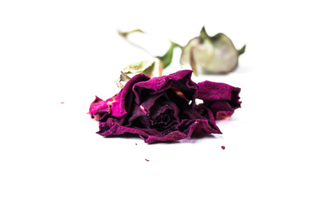 dried faded rose isolated on white background photo