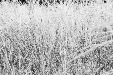 scrub grass: Close up of reeds field in motion background