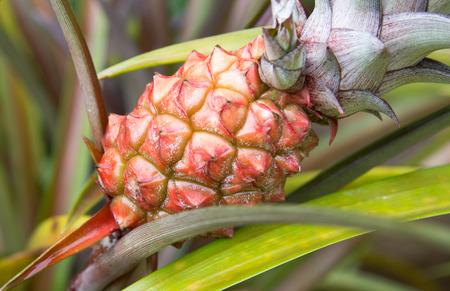 Close up pineapple tropical fruit growing in a farm photo