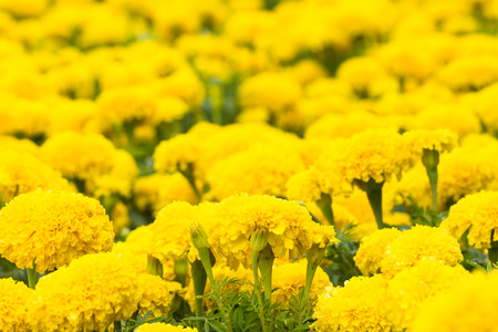 Yellow marigolds flower in the garden photo