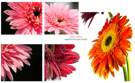 Collection gerbera flower on white background(with sample text) photo