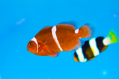clown fish: clown fish or anemone fish  on blue background Stock Photo