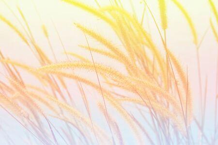 canne: campo bianco canne