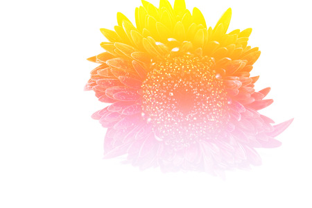 burgundy colour: Close up red gerbera flower on a white background Stock Photo
