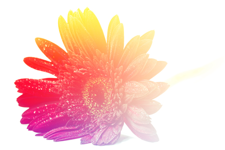 redolence: Close up red gerbera flower on a white background Stock Photo