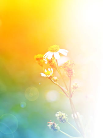 chamomile flower: the chamomile flower in meadow