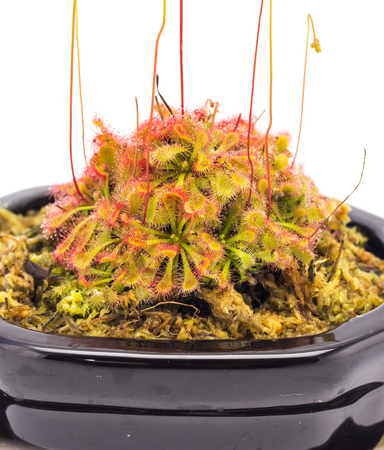 trapped: Drosera tokaiensis Carnivorous Plant Insect Stock Photo