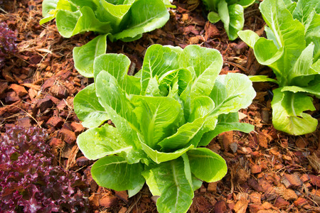 fresh lettuce plants