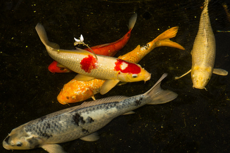 koi: motion Koi fish in pond