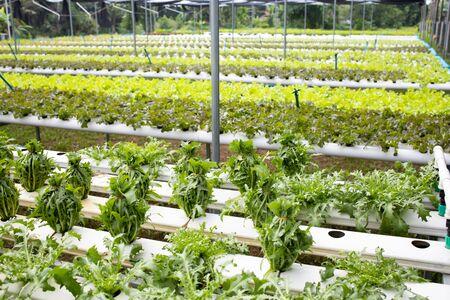 Organic hydroponic fresh vegetable farm.