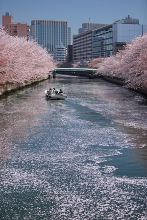 Sakura,Cherry blossom in Japan photo