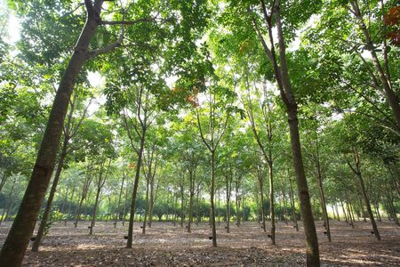Rubber Plantation Stock Photo - 17418097