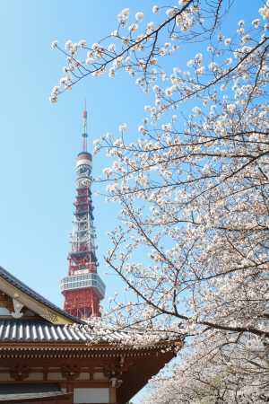 blossom time: Tokyo Tower at cherry blossom time