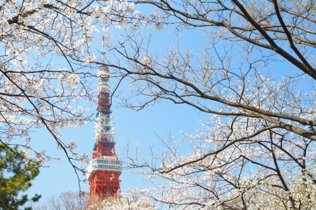 blossom time: Tokyo Tower at cherry blossom time  Editorial