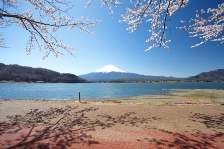 snow capped mountain: Mt Fuji and Cherry Blossom