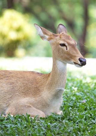 Close-up fallow deer in wild nature 写真素材