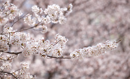 beautiful sakura cherry blossom in spring season photo